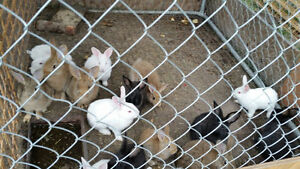 Young Flemish Giant/ New Zealand Bunnies for Sale