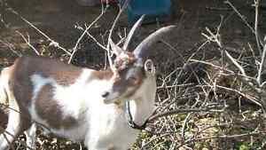 Alpine Billy Goat, for breeding
