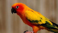 ***WANTED***  LOOKING FOR FEMALE SUN CONURE