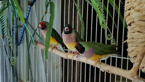 Gouldian and finches