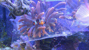 TRADE yellow/pink tip anemones with greenish/brownish body