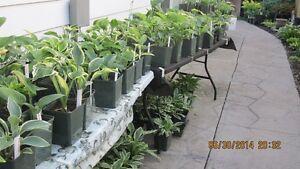 Hostas Plants For Sale