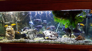 Cichlids for sale - Cichlids a vendre