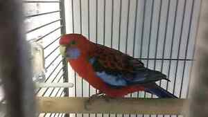 Crimson Rosella Female! ! !