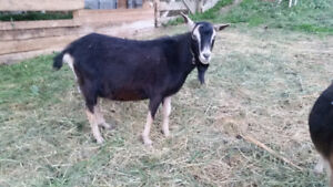 Goats | Adopt or Rehome Livestock in British Columbia