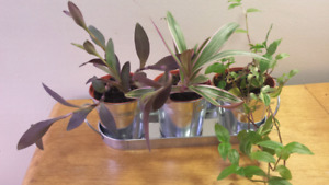 Houseplant set for sale in beautiful tin planter