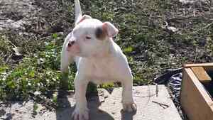 Registered American Bulldogs