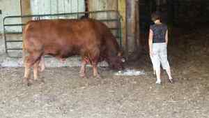 Just reduced to sell!     Red Simmental BULL for sale Peterborough Peterborough Area image 3