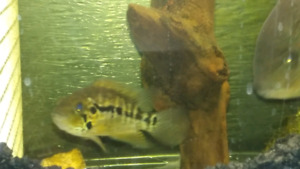RED TIGER MONTAGUESE 4 inch Male