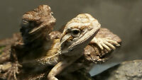 Bearded Dragon babies