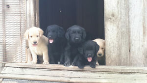 Labradoodle puppies, we are ready for our new families!