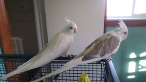 Proven Pair of Whiteface Cockatiels for sale