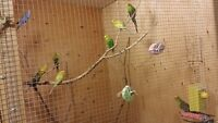 9 budgies for sale