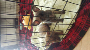 Chihuahua puppies looking for home
