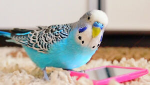 WANTED: MATURE FEMALE BUDGIE