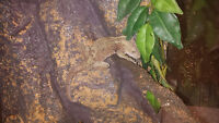 4yr old MALE crested gecko & 3 tanks & accessories