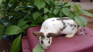 Rex Rabbit for sale