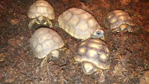 Tortues red foot & yellow foot tortoise