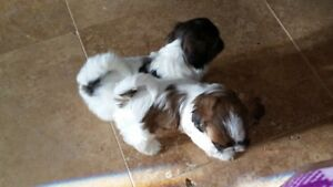 SHIH TZU PUPPIES FOR SALE---4 MALES 1 FEMALE