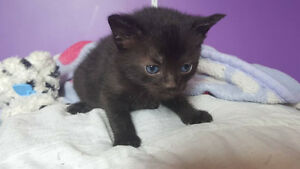 1 Kitten Looking For A New Home with 1st Shots