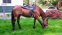 Gorgeous 8 year old QH X TWH