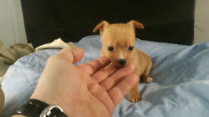 CHIHUAHUA PUPS, GREAT PRICE, READY NOW