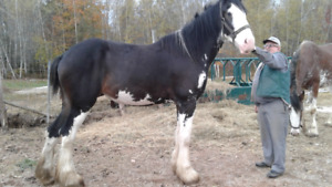 Two Clydesdales for sale