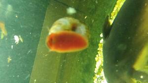 Baby RED/PINK Ramshorn Snails For Aquariums GR8 4 Algae