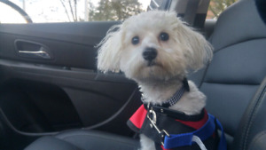 Maltese/Bichon Puppy looking for furever home