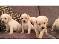 Yellow labs pups