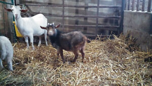 Baby Pygmy Billy Goat For Sale