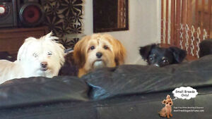DAYCARE/SLEEPOVERS(SMALL DOGS)IN CAGE-FREE HOME SINCE 2010 West Island Greater Montréal image 7