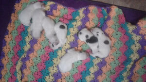 Australien Cattle Puppies Dogs for sale