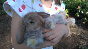 Baby bunnies for Sale; Adorable Holland Lops & Netherland Dwarfs