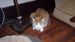 Male cat - approx 6 yrs old named Monster Sarnia Sarnia Area image 4