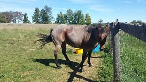 2-5 year old quarter horse mares FOR SALE together or seperate