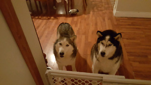 Huskies looking for a home