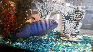 Fish tank with Blue Cichlid