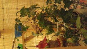 Zebra finches in a 5x3x2 foot handmade beautiful enclosure for r