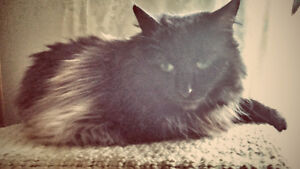 Middle aged female cat to forever home London Ontario image 2