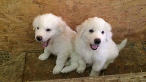 Purebred Great Pyrenees puppy