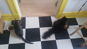 west island cat sitter and cat visits (insured/bonded,pet first) West Island Greater Montréal image 2