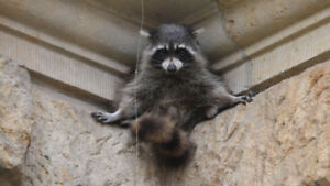 Looking for healthy raccoons and a vet to treat them when needed