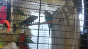 1 1/2 yr budgies with large cage