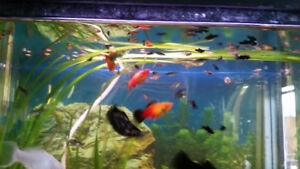 Baby Platies, Mollies, and Guppies for sale
