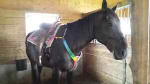 16 hand 11 year old gelding  for sale