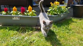 Blue shorthair kittens