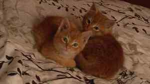 Free Tabby brothers
