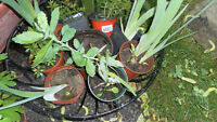 perennial plants for sale