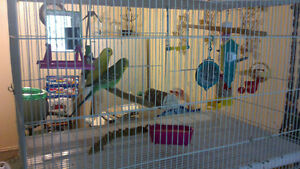 Two Female budgies with everything.